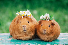 Two little sweaty guinea pigs. With flowers stock image