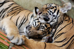 Two little tigers sleeping. Two little tigers hugging while sleeping stock photo
