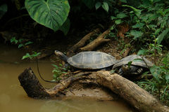 Two little turtles. Ecuador royalty free stock image