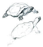 Two little turtles pencil artistic sketch Royalty Free Stock Photo