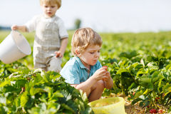 Two little twins boys on pick a berry farm picking strawberries Royalty Free Stock Photo