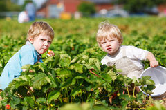 Two little twins boys on pick a berry farm picking strawberries Stock Photography