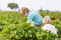Two little twins boys on pick a berry farm picking strawberries Stock Image
