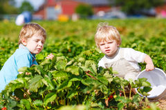 Two little twins boys on pick a berry farm picking strawberries Royalty Free Stock Photos