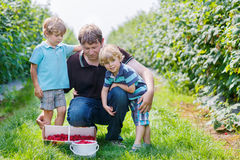 Two little twins kid boys and their dad on organic raspberry farm Stock Photo