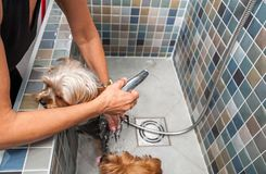 Two little wet cute and beautiful purebred Yorkshire Terrier dogs bath in the bathtub and washing fur selective focus. Dogs bathing. Two little wet cute and stock image