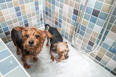 Two little wet cute and beautiful purebred Yorkshire Terrier dogs in the bathtub after bathing selective focus.  stock photography