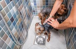Two little wet cute and beautiful purebred Yorkshire Terrier dogs in the bathtub bathing and washing selective focus. Dog bath, Two little wet cute and beautiful stock photos