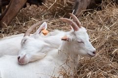 Two little white goats lying on hay, cuddling up to themselves on a farm, family goes first royalty free stock photos