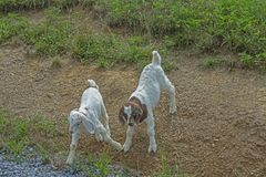 Two baby white goats are playing together. royalty free stock photography