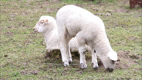 Two little white lambs grazing, easter. White sheep  in springtime grazing stock video