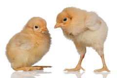 Two little yellow chicken Royalty Free Stock Photo