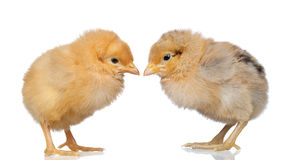 Two little yellow chicken Royalty Free Stock Image