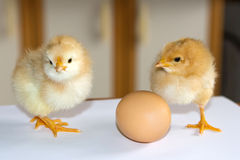 Two little yellow fluffy chickens standing on a white surface on Stock Photo