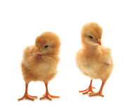 Two of little yellow kid chick standing on white Stock Photography