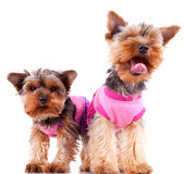 Two little yorkshire puppy dogs playing Royalty Free Stock Photos