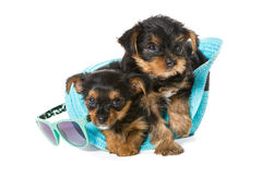 Two little Yorkshire Terrier and  beach hat Stock Photography