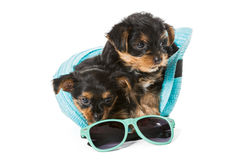 Two little Yorkshire Terrier and  beach hat Royalty Free Stock Photography