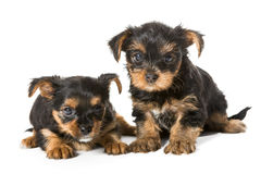 Two little Yorkshire Terrier puppy Royalty Free Stock Photography