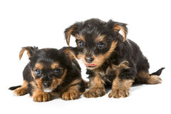 Two little Yorkshire Terrier puppy Royalty Free Stock Image