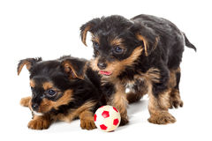 Two little Yorkshire Terrier puppy and ball Royalty Free Stock Photo