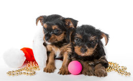 Two Little Yorkshire Terrier puppy and Santa hat Royalty Free Stock Photography