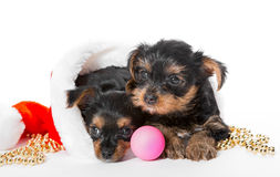 Two Little Yorkshire Terrier puppy and Santa hat Royalty Free Stock Images