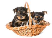 Two Little Yorkshire Terrier puppy sitting in a basket Stock Photos
