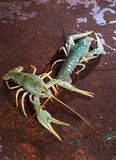 Two live crayfish Stock Photo