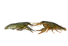 Two live crayfishes isolated on Royalty Free Stock Images