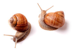 Two live snail crawling on white background close-up macro Royalty Free Stock Photo