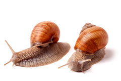 Two live snail crawling on white background close-up macro Stock Image