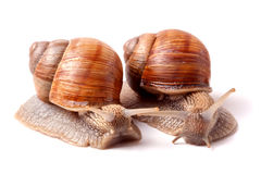 Two live snail crawling on white background close-up macro Royalty Free Stock Photography