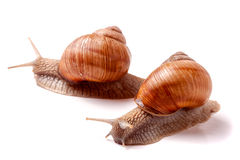 Two live snail crawling on white background close-up macro Royalty Free Stock Image