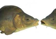 Two lively big carp Royalty Free Stock Photography