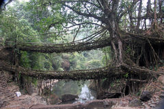 Two living root bridges stretch across a stream in Stock Photos