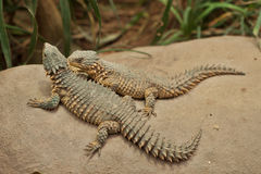 Two lizard Royalty Free Stock Images