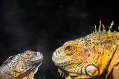 Two lizard closeup Royalty Free Stock Photography