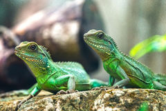 Two lizard look for a direction Stock Image