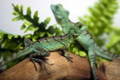 Two lizards Stock Photo