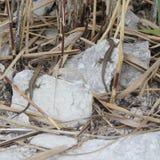 Lizards of Lake Garda. Two lizards basking on a rock beside Lake Garda Stock Photos