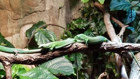 A couple of lizards. Two lizards in Berlin aquarium. So lazy and slow Stock Photo