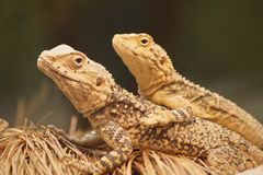 Two lizards cuddling on grass royalty free stock image