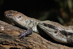 Two Lizards Royalty Free Stock Photo