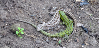 Two lizards are fighting on the ground. Two small lizard with a long tails are (possibly?) fighting on the ground stock image