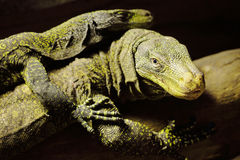 Two lizards Stock Photography