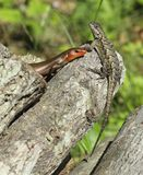 Two lizards share a sunny perch Royalty Free Stock Photography