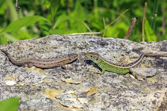 Two lizards on a stone Stock Images
