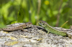 Two lizards on a stone Royalty Free Stock Photo