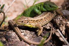 Two lizards sunning on rock. Green and brown lizards sunning on rock stock photos
